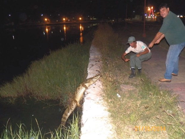 Jacaré foi capturado na lagoa do Parque Público da Prainha, em Arraial do Cabo (Foto: Divulgação / Secretaria do Ambiente de Arraial do Cabo)