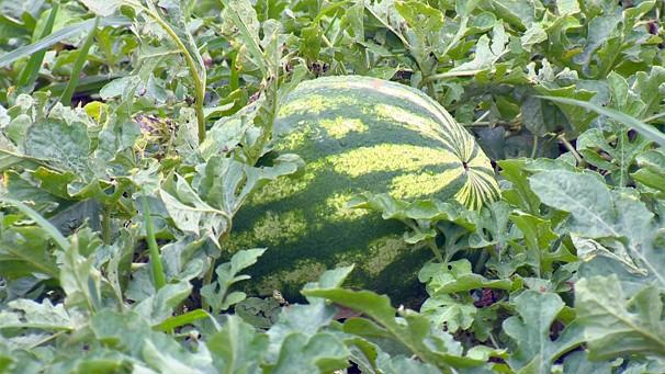 Melancia, uma fruta que faz sucesso principalmente em dias quentes (Foto: Reprodução / TV Fronteira)