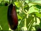 Agricultores que plantaram berinjela em MG estão satisfeitos com o preço