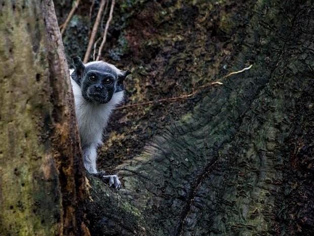 Sauim-de-coleira está na lista vermelha dos animais ameaçados de extinção (Foto: Diogo Lagroteria/Ibama)