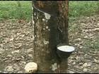 Técnica ajuda a evitar a destruição de seringais cultivados na Amazônia