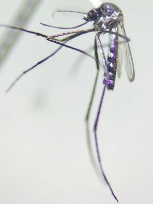Mosquito Haemagogus janthinomys é transmissor do vírus Mayaro (Foto: Jordam William/ Fiocruz da Amazônia )