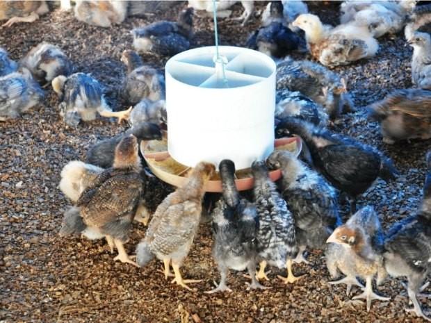Produtores chegam a lucrar 30% com a venda das galinhas. (Foto: ESBR/Divulgação)
