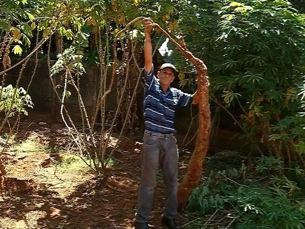 Plantações precisam de 12 horas de luz por dia e de solo não compactado (Foto: Reprodução/ TV TEM)