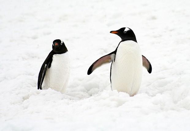 Pinguins caminham na neve, na península Antártica (Foto: Divulgação/Daniel Botelho)