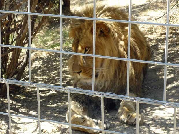 Leão Cous Cous, de 4 anos, em imagem do ano passado, matou uma estagiária. (Foto: Arquivo / AP Photo)