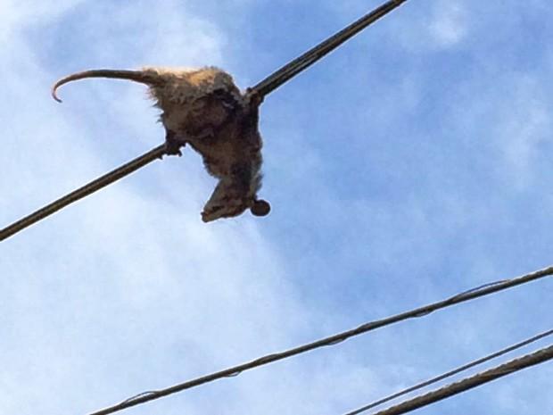 Saruê tenta se equilibrar na rede elétrica em Peruíbe, SP (Foto: Jéssica Cristina Gonçalves/Arquivo Pessoal)