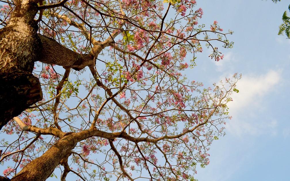 Ipê rosa com flores em Porto Velho (Foto: Mary Porfiro/Arquivo Pessoal)
