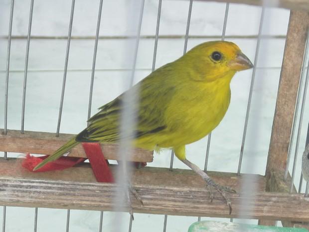 Pássaros silvestres estavam em gaiolas na casa do infrator (Foto: Divulgação/Polícia Militar Ambiental)