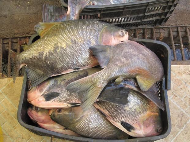 Os compostos que dão mau gosto no pescado são absorvidos pelas brânquias (Foto: Marcelo Marques G1 RR)
