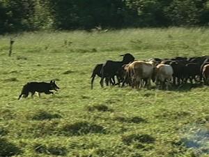 Cão uberaba (Foto: reprodução/TV Integração)