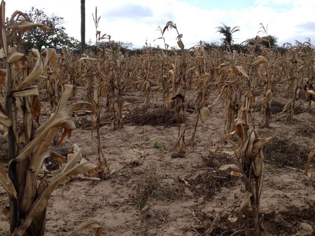 Manoel Pereira nada aproveitou da plantação de milho na safra de inverno (Foto: Henrique Mendes / G1)