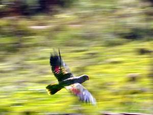 Ao todo, 43 papagaios foram soltos (Fot Espaço Silvestre/Divulgação)