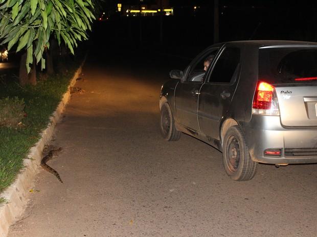 Cobra é flagrada em avenida movimentada de Porto Velho, RO (Foto: Ivanete Damasceno/G1)