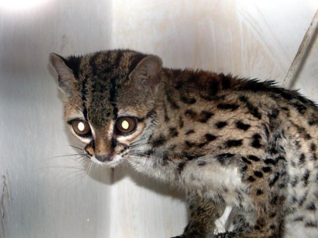 Gato-do-mato foi encontrado em quintal de casa na Serra, no Espírito Santo. Animal está em extinção. (Foto: Divulgação/ Polícia Ambiental)