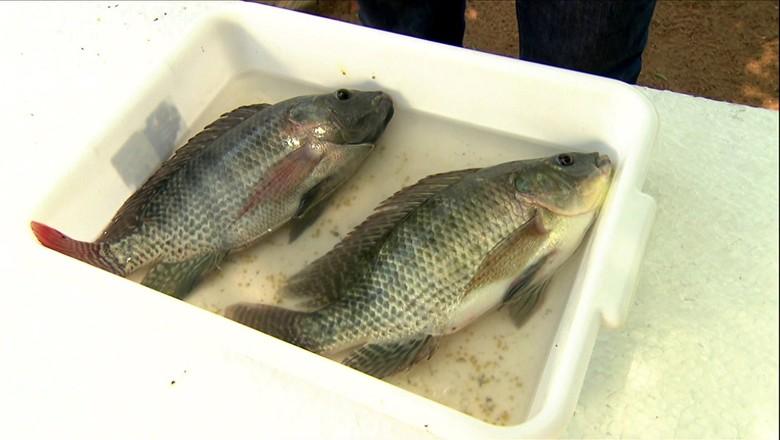 tilápia-sexada-peixe (Foto: Reprodução/TV Globo )