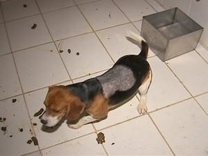 Cães retirados de laboratório em São Roque (Foto: Reprodução/TV Tem)