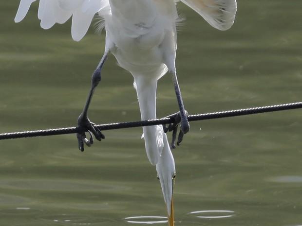 Garça se equilibra em cabo na tentativa de fisgar peixes em lagoa