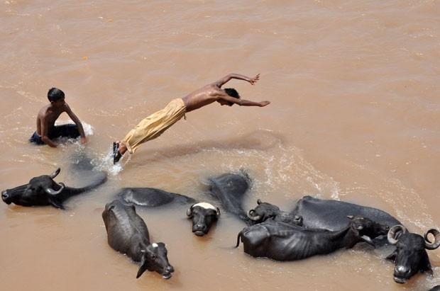 Adolescentes indianos foram fotografados nesta sexta-feira (23) usaram búfalos como trampolim enquanto nadavam no rio Tawi, perto da cidade de Jammu, na Índia (Foto: AFP)