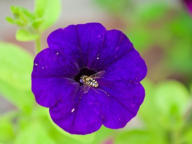 Abelhas e flores, como essa petúnia, se comunicam por sinais elétricos (Foto:  Flaggr/Flickr/Creative Commons)