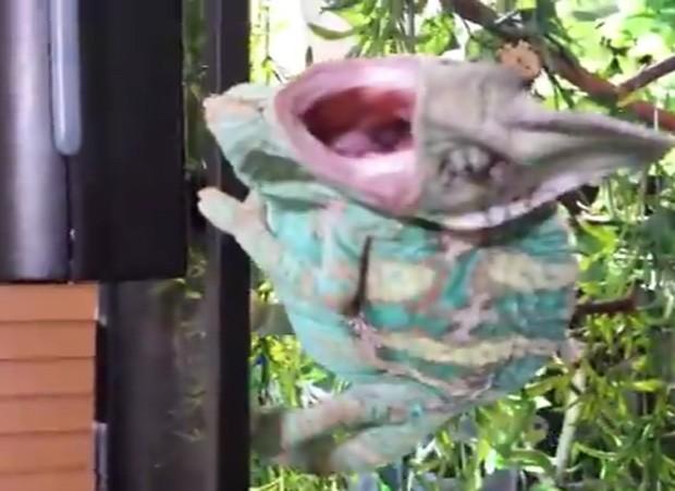Camaleão de 'mau humor' quase atacou o dono que tentava encostar no animal (Foto: Reprodução/YouTube/Alex Perez)