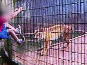 GNews - Ataque de tigre (Foto: globonews)