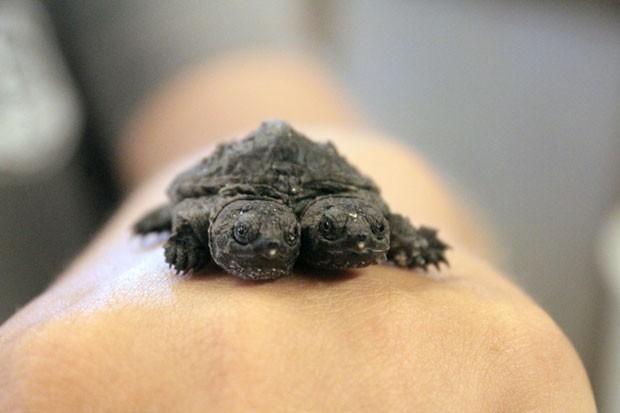 Criadouro pretende colocar à venda a tartaruga com duas cabeça (Foto: Sarah Morris/AP)