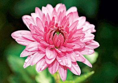 como_plantar_crisantemo (Foto:  )