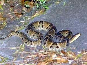 Cobra de meio metro encontrada no Jardim Santa Paula em São Carlos (Foto: Luciano Lopes/São Carlos Agora)