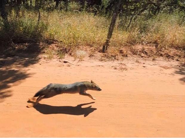 Raposa solta em Uberlândia (Foto: Polícia MIlitar Ambiental;Divulgação)