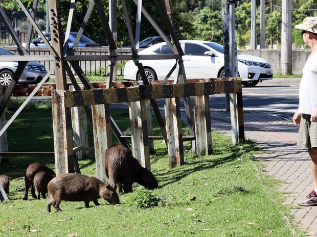 Família de capivaras no espaço urbano em Piracicaba (Foto: Mateus Medeiros/Arquivo pessoal)