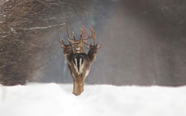 'Veado de três cabeças' é visto em floresta da Lituânia (Foto: Renatas Jakaitis/Iber Press)