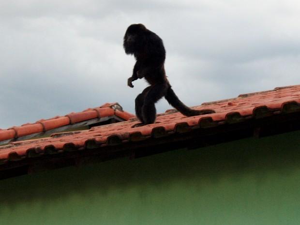 Macaco andou sobre telhados de casas (Fot Osmar Ferraz/Arquivo pessoal)