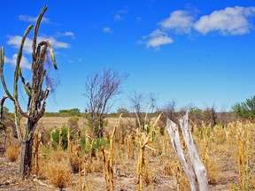 Nem o mandacaru, símbolo nordestino, está suportando a seca em Morpará (BA) (Foto: Glauco Araújo/G1)