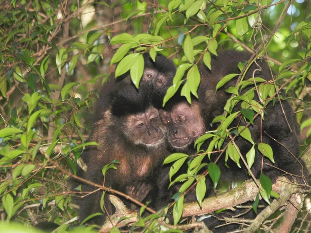 Macacos-prego  (Foto: Rodrigo Galdino/Divulgação)