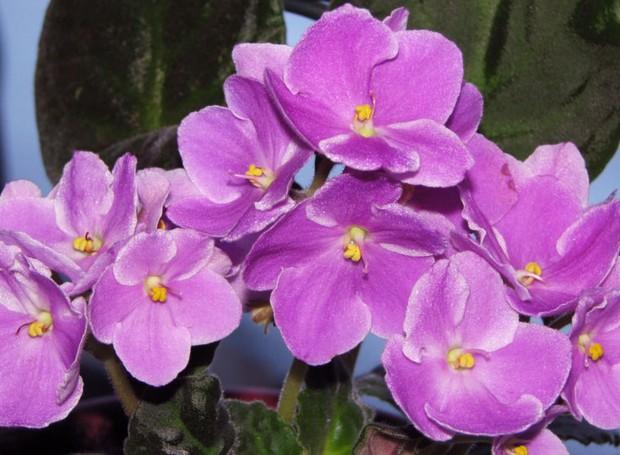 Violetas Como Cuidar E Ter Flores O Ano Inteiro Casa E Jardim