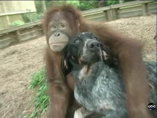 """A orangotango 'Suryia' e o vira-lata """"Roscoe"""" mantêm amizade em um centro de preservação de animais em Myrtle Beach, no estado da Carolina do Sul (EUA). O 'casal' já chegou aparecer no programa da apresentadora Oprah Winfrey e no canal 'National Geographic'. (Foto: Reprodução)"""