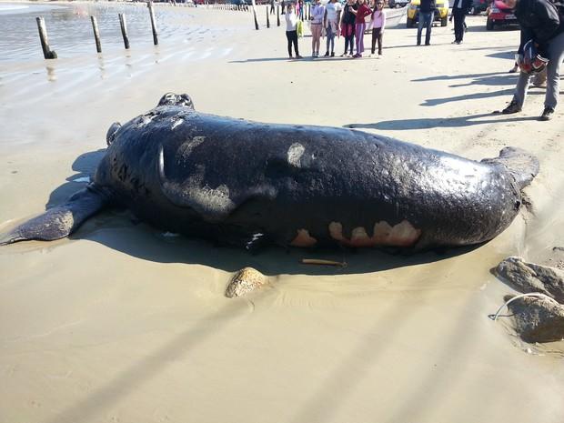 Filhote foi encontrado no Sul da Ilha de SC (Foto: Cristiane Koslenikovas/Associação R3 Animal)