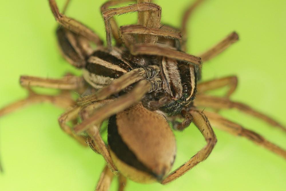 Aranhas envolvidas em 'ménage'