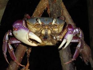 Período de defeso do caranguejo-uçá vai de janeiro a março, segundo o governo do Amapá (Fot Divulgação/Governo do Amapá)