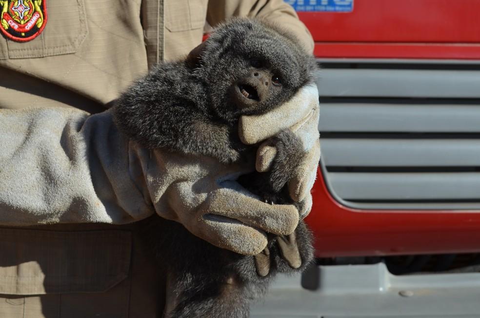 Macaco da espécie zogue-zogue foi encontrado em uma loja de panelas na área urbana da cidade (Foto: Eliete Marques/G1)