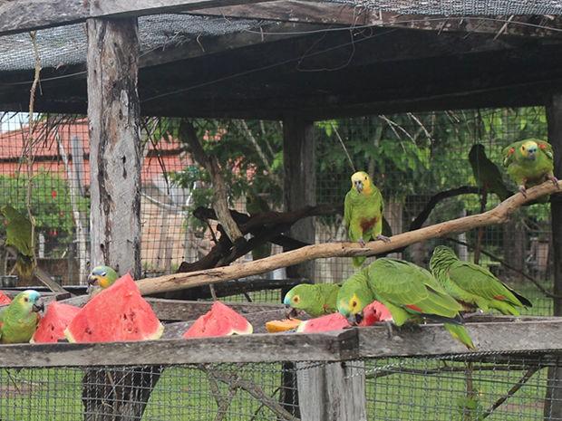 Grupo de papagaios foi solto em uma região de fazenda em Poconé. (Fot Ingrid Grahn/Arquivo pessoal)
