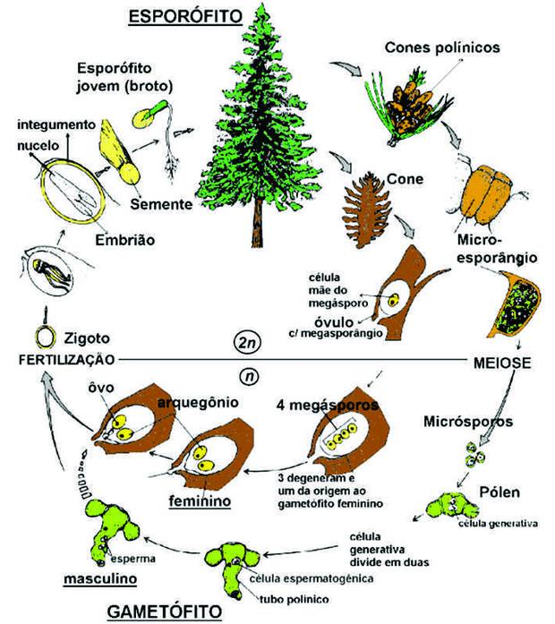 Reprodução das gimnospermas tendo como modelo o pinheiro do gênero Pinus sp. (Foto: Reprodução/Colégio Qi)