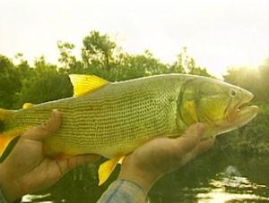 piscicultura mato grosso do sul (Foto: Reprodução/TV Morena)