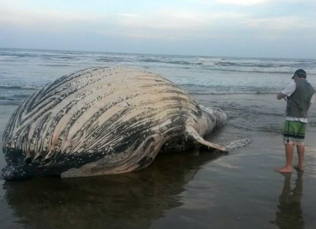 Animal morto estava na costa de Torres, RS (Foto: Thiago Nóbrega Lisboa/divulgação)