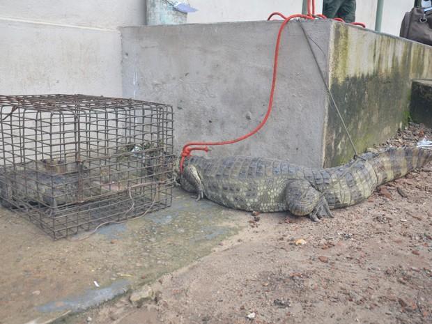 Um dos jacarés media mais de 2 metros de comprimento, segundo a PM Ambiental  (Foto: Walter Paparazzo/G1)