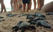 Soltura de 99 filhotes de tartarugas-de-pente movimenta praia em Maceió (Lucas Leite/ G1)