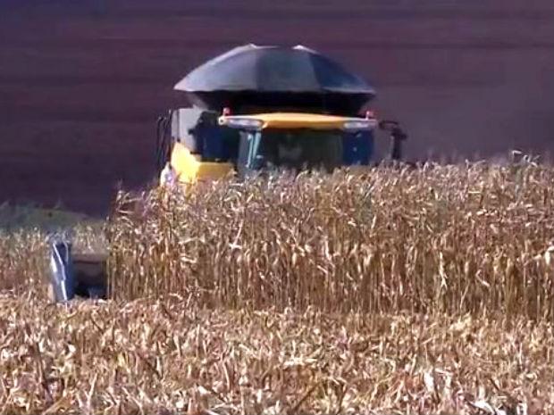 Colheita da safrinha de milho em MS atinge os 19,6% das áreas plantadas (Foto: Reprodução/TV Morena)