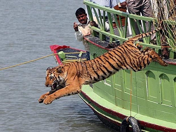 Foto de fevereiro de 2008 mostra agentes florestais indianos soltando no rio Sundarikati um tigre-de-bengala resgatado de gaiola nas Sunderbans (Foto: AFP PHOTO/Deshakalyan )