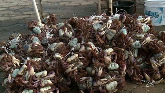 Proibida a captura e a venda do caranguejo Uçá no Maranhão
